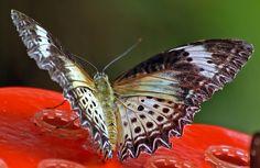 IMGP9590 - Cethosia cyane 蝴蝶 나비 Mariposas farfalle チョウ Бабочки 轻便铁路蝴蝶站