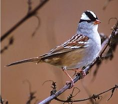 he White-crowned Sparrow (Zonotrichia leucophrys) is a medium-sized sparrow native to North America. Their breeding habitat is brushy areas across northern Canada and the western United States.
