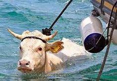 Le cronache animali: Vinci (FI), Mucca in fuga per la libertà
