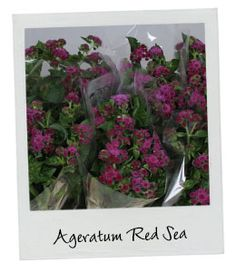 Ageratum Red Sea | New Arrival | Available in our webshop www.holex.com…