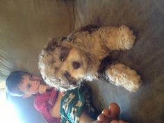 "My new puppy ""tucker"". Miniature schnoodle"