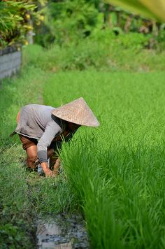 Rice fields of Penestanan in Ubud, Bali by Necessary Indulgences. Ubud Indonesia, Plant Breeding, World 7, East Indies, Largest Countries, How Beautiful, Cool Pictures, Travel Pictures, Southeast Asia