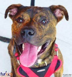 ADOPTED!   Kael Keady came to Furkids with an embarrassing, but severe injury that required an amputation.  Despite his surgery, Kael is a playful and energetic 40-lb. Plott Hound/Pit Bull Terrier mix.   To view available dogs, go to https://furkids.org/dog-adoptions.