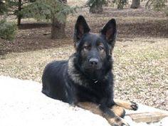 TimesRepublican.com | K9 AWOL Marshalltown Iowa Beautiful Canine Police Officer