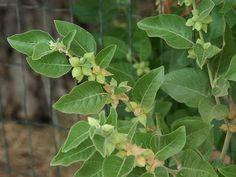 ဒဟဿဂိုஅஸ்வகந்தி (எ) அஸ்வகந்தா Medicinal Plants, Herbal Medicine, Herbalism, Plant Leaves, Herbs, Nutrition, Herb, Healing Herbs, Spice