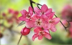 crab apple blossoms photos - Google Search