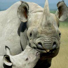A black rhino and her calf. Photo by Art WolfeNovember Wildlife: RhinocerosAWF Solutions: Supporting Rhino SanctuariesHeartlands: Kilimanjaro The Animals, My Animal, Baby Animals, Wild Animals, Beautiful Creatures, Animals Beautiful, Save The Rhino, Tier Fotos, Pets