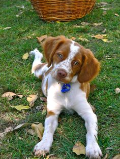 Here are a few ways to practice social distancing when youre out walking your dog. Here are a few ways to practice social distancing when youre out walking your dog. Springer Spaniel Welpen, Englisch Springer Spaniel, Brittany Spaniel Puppies, Welsh Springer Spaniel Puppies, Brittney Spaniel, Cute Puppies, Cute Dogs, Fluffy Puppies, Tier Fotos