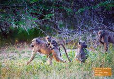 Baboons! Kruger Park South Africa