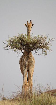 """ravenwhimsy: """" coisasdetere: """"Girafa … """" Best hiding spot ever!!! """""""