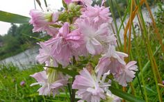 "How to make soap with Soapwort ""Flore Pleno"""