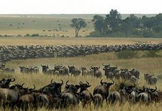 Annual migration of millions of wildebeest in the Serengeti