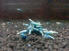 《Joe's Aqua PRESALE》1 Pcs Black King Kong Flowhead Tibee Taiwan Bee Shrimp