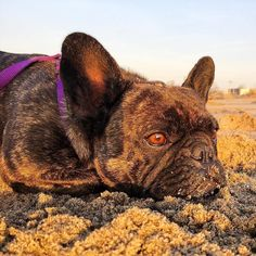 French Bulldog at the Beach,  Email:  Pepper.frenchbulldog@gmail.com      dogsofinstagram by pepper_thefrenchie