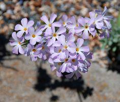 Linanthus grandiflorus