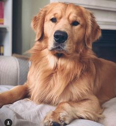 Dog And Puppies Memes .Dog And Puppies Memes Dogs Golden Retriever, Retriever Puppy, Golden Retrievers, Cute Funny Animals, Cute Baby Animals, Funny Dogs, Cute Little Puppies, Cute Dogs And Puppies, Doggies