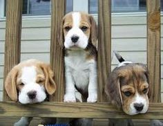 three little beagle puppies happily look through the fence