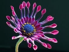 700 Seeds Dimorphotheca Sinuata African Daisy Purple by seedsshop, $1.79