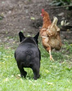 French Bulldog on a Chicken Chase! I Love Dogs, Puppy Love, Cute Dogs, Cute Bulldogs, French Bulldogs, French Bulldog Pictures, Cute Creatures, Little Dogs, Mans Best Friend