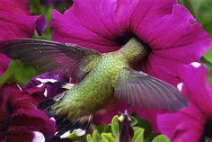 Rufous hummingbird - Tina Gabriele, Calgary, Alberta