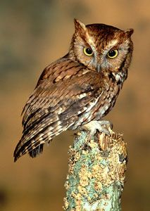 Screech-owls are typical owls Screech-owls hunt from perches in semi-open landscapes.