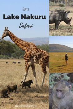 As part of a 6 days and 5 night's safari in Kenya we visited Lake Nakuru for 1 day. The park served as a break in between two major safari areas.