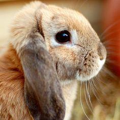 Mini Lop rabbit  {R.I.P. Napoleon}