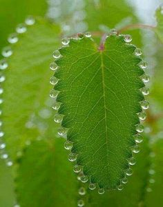 Via Amazing facts. Pearls of Nature expelles water a process called Guttation due to positive root pressure.