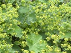 Perennial Lady's Mantle (alchemilla) can add a lovely green addition to your garden.  Friends just gave me some for my new gardens.