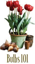 Bulbs 101 - bulb planting basics