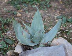 Aloe karasbergensis | por alloe.