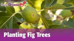 Planting Fig Trees