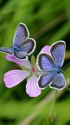 Butterflies Amazing World beautiful amazing Butterfly Kisses, Butterfly Flowers, Blue Butterfly, Butterfly Pictures, Flower Bird, Beautiful Bugs, Beautiful Butterflies, Beautiful Creatures, Animals Beautiful