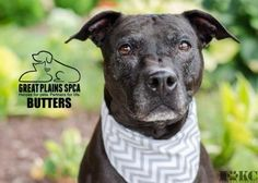 Animal Details Click a number to change picture or play to see a video: [1] [2] [3][Play]  Animal ID28610188SpeciesDogBreedTerrier, Pit Bull/MixAge7 years 18 daysSexMaleSizeMediumColorBlackSpayed/NeuteredDeclawedNoHousetrainedUnknownSiteGreat Plains SPCA IndependenceLocationDog Adoption 2Intake Date7/15/2015Adoption Price$125.00