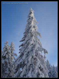 frozzen_fir_tree___winter_2010_by_ZethXD.jpg (800×1067)