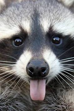 Raccoons signify 'Generosity & Sharing'