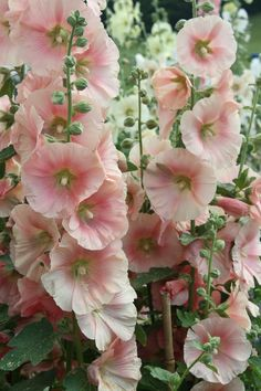 //HOLLYHOCKS - 1) Full sun to partial shade. 2) Rich, well drained soil. 3) Biennial, but establish a stand of hollyhocks & they'll reseed each year. 4) Water from below. 5) Height - around 8 ft. 6) Attracts butterflies & hummingbirds. #flowers
