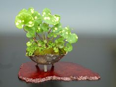 Kusamono Farfugium japonicum :