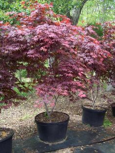 Fireglow japanese maple for the front yard