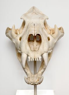 SkullSkull (disambiguation) The skull is the bony structure in the head of a craniate. Skull or Skulls may refer to: Skull Animal, Tiger Skull, Animal Skeletons, Skull Art, Wolf Skull, Skeleton Bones, Skull And Bones, Cat Anatomy, Skull Anatomy