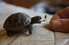 Little turtle having a snack