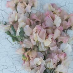 Floret_Sweet Pea_Mollie Rilstolne-1