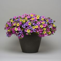 Calibrachoa Mix Masters Spring Showers (Cabaret Sky Blue, Cabaret Light Pink, Cabaret Lemon) from Ball Flora Plant - Year of the Calibrachoa - National Garden Bureau