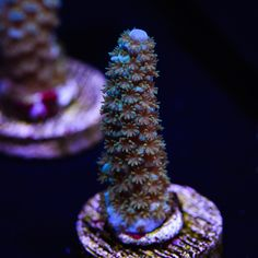 WWC Oceans Deep Acropora