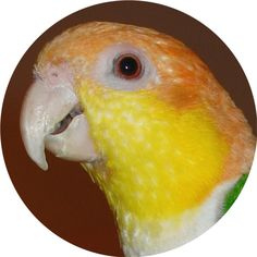 Safe Bird Toys Hand Made USA with Veterinarian Approval. Unique High Quality Parrot Toys in Intermediate sizes for Quaker, Conure, Senegal, Caique Parrot Perch Diy, Warm Dog Coats, Unique Dog Beds, Ring Necked Parakeet, Parrot Toys, Conure, Dog Diapers, Bird Toys, Cute Birds