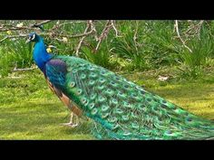 Indian Blue Peacock in All its Glory - YouTube