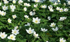 Wenn in den Wäldern die weißen Blütenteppiche der Buschwindröschen erscheinen, nimmt der Frühling richtig Fahrt auf. So holen Sie sich den Frühlingsboten in den Garten.
