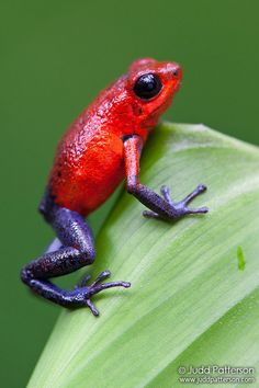 ˚Strawberry Poison Dart Frog - Costa Rica