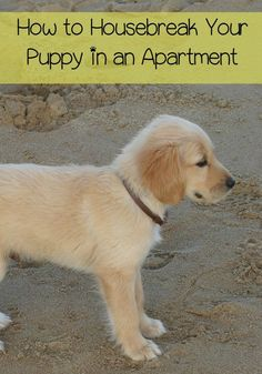 Learning how to housebreak your puppy in an apartment is not as difficult as it might seem at first. Check out our tips!