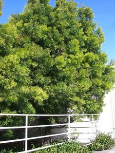 Podocarpus gracilior--best plant ever.  shear it into a hedge or let it go.  no mess. good for near pools and patios.